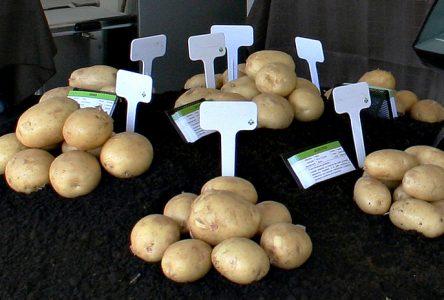 Patates Dolbec liée à Semences Saguenoise