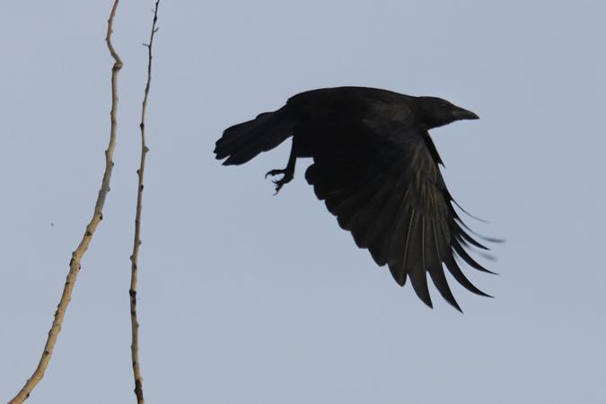 Quels sont ces oiseaux noirs de l'Halloween?