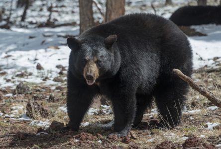 Dindon et ours: enregistrement du gibier en ligne