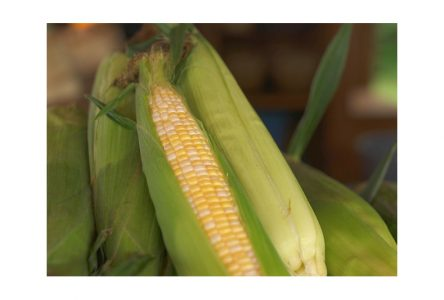 La culture du maïs: un savoir qui passe à l'histoire