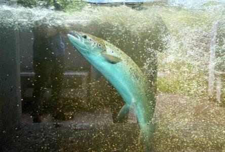 Les saumons sont au rendez-vous dans la Jacques-Cartier
